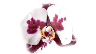 orhideja-cvet